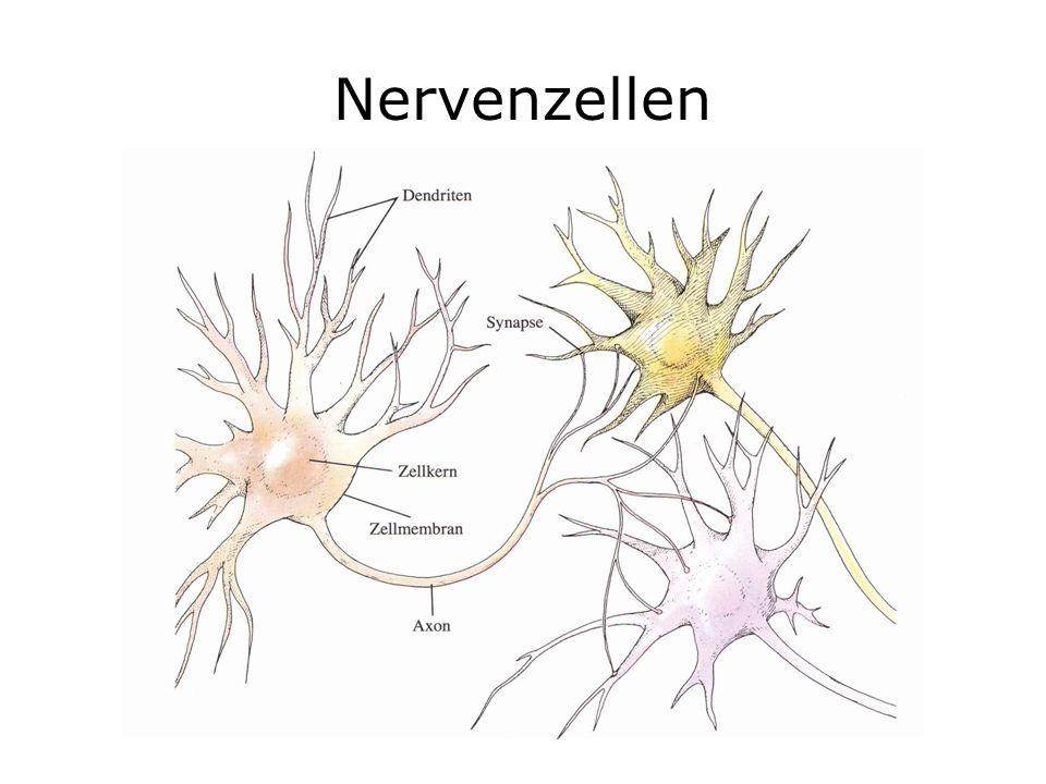 Aufbau von Nervenzellen Neurone bestehen aus Zellkörper, Dendriten, Axon und präsynaptischen Endigungen Jeder Bereich hat eine ganz bestimmte Aufgabe bei der Signalübertragung Der Zellkörper ist das Stoffwechselzentrum der Zelle Dendriten sind baumartige Fortsätze, über die die Zelle Eingangssignale von anderen Zellen bekommt Über das Axon leitet die Zelle das Ausgangssignal weiter an andere Zellen Synapsen sind die Kontaktpunkte zu anderen Neuronen