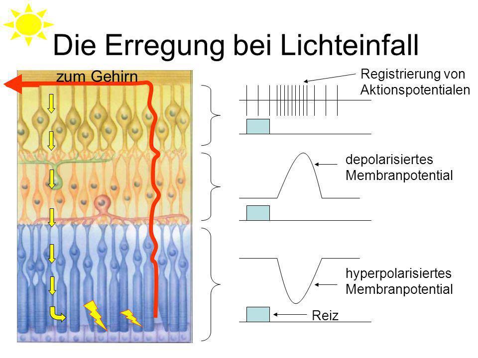 Die Erregung bei Lichteinfall Reiz hyperpolarisiertes Membranpotential depolarisiertes Membranpotential Registrierung von Aktionspotentialen zum Gehirn