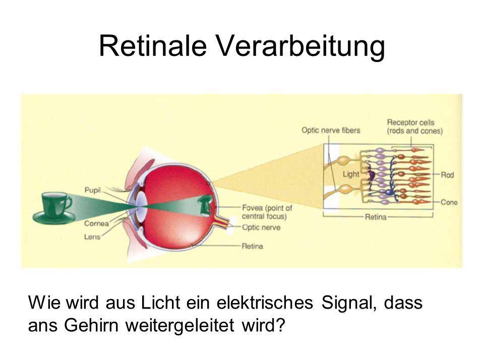 Die Erregung bei Lichteinfall Lichteinfall schließt Ionenkanäle; Na + u.