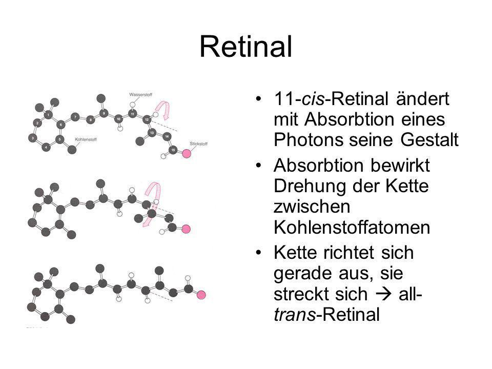 Retinal 11-cis-Retinal ändert mit Absorbtion eines Photons seine Gestalt Absorbtion bewirkt Drehung der Kette zwischen Kohlenstoffatomen Kette richtet sich gerade aus, sie streckt sich all- trans-Retinal