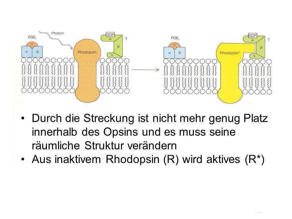 Durch die Streckung ist nicht mehr genug Platz innerhalb des Opsins und es muss seine räumliche Struktur verändern Aus inaktivem Rhodopsin (R) wird aktives (R*)