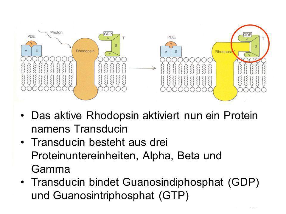 Das aktive Rhodopsin aktiviert nun ein Protein namens Transducin Transducin besteht aus drei Proteinuntereinheiten, Alpha, Beta und Gamma Transducin bindet Guanosindiphosphat (GDP) und Guanosintriphosphat (GTP)