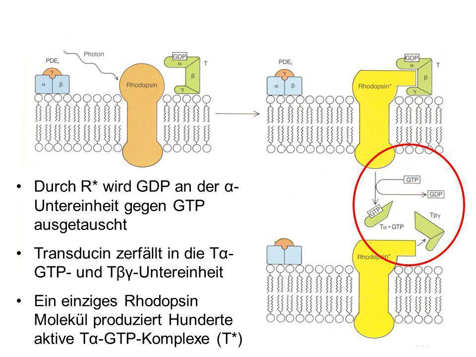 Durch R* wird GDP an der α- Untereinheit gegen GTP ausgetauscht Transducin zerfällt in die Tα- GTP- und Tβγ-Untereinheit Ein einziges Rhodopsin Molekül produziert Hunderte aktive Tα-GTP-Komplexe (T*)