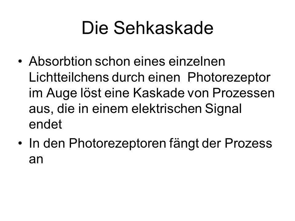 Die Sehkaskade Absorbtion schon eines einzelnen Lichtteilchens durch einen Photorezeptor im Auge löst eine Kaskade von Prozessen aus, die in einem elektrischen Signal endet In den Photorezeptoren fängt der Prozess an
