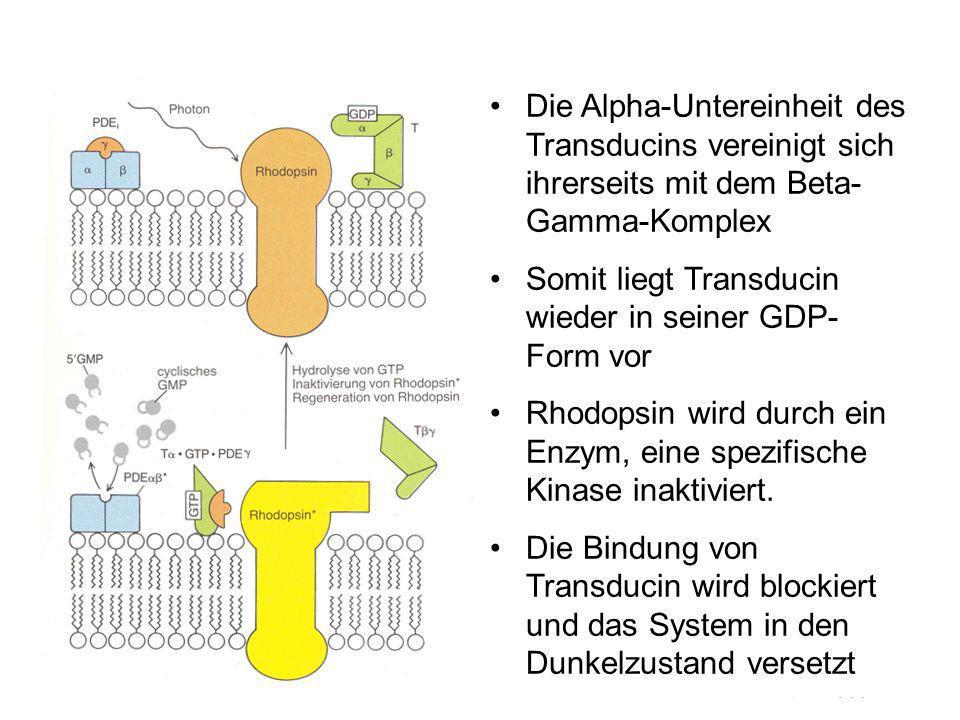Die Alpha-Untereinheit des Transducins vereinigt sich ihrerseits mit dem Beta- Gamma-Komplex Somit liegt Transducin wieder in seiner GDP- Form vor Rhodopsin wird durch ein Enzym, eine spezifische Kinase inaktiviert.