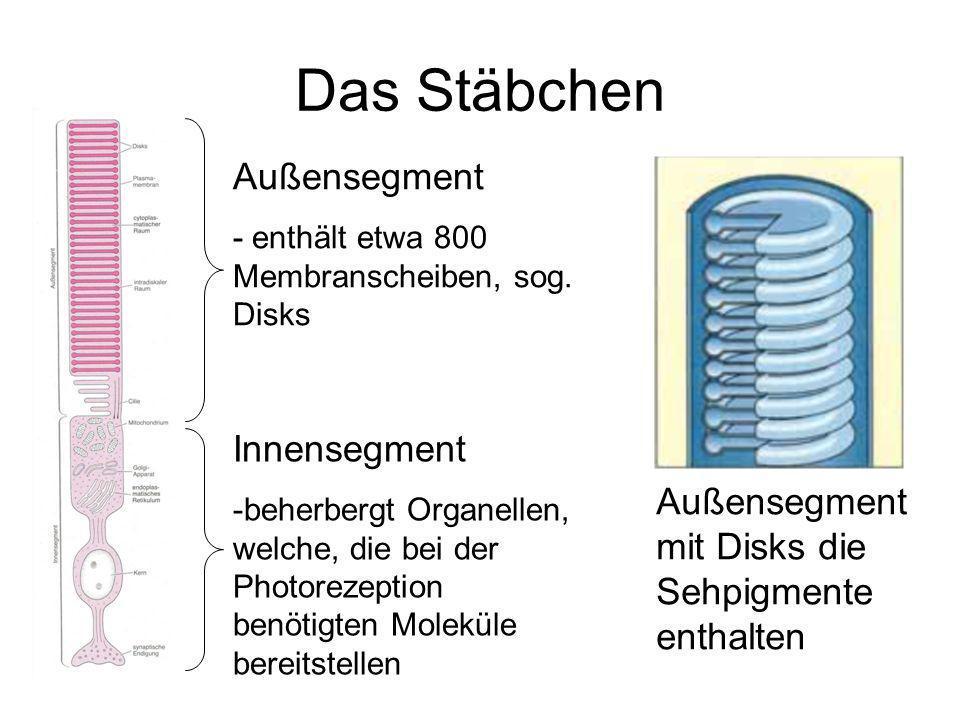 Die Sehkaskade Photorezeptoren bestehen aus 2 Segmenten Außensegmente enthalten gestapelte Disks (ca.