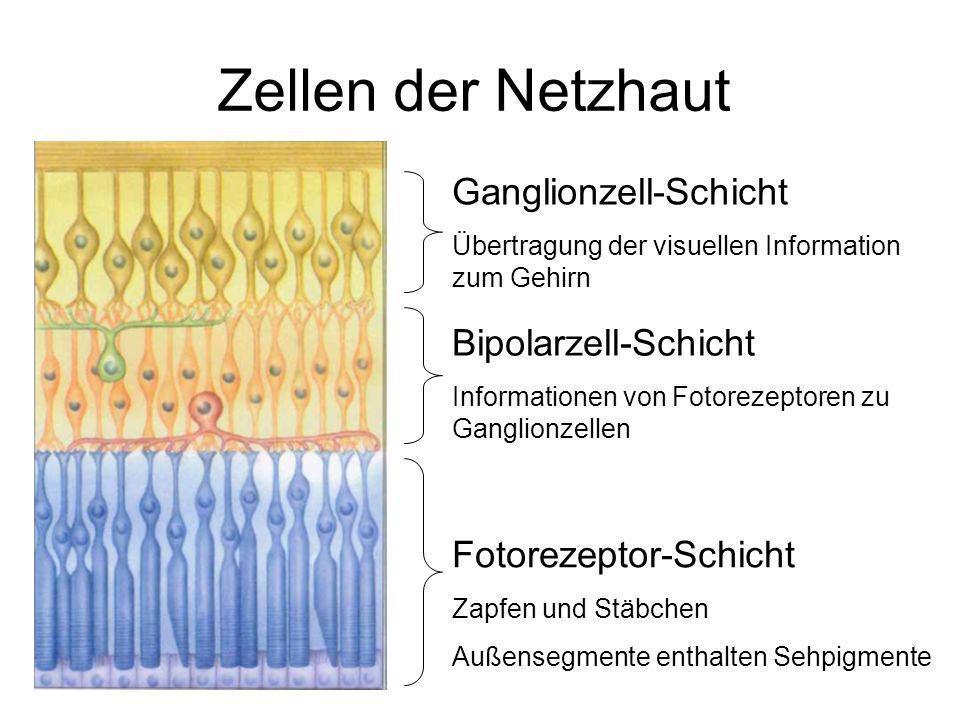 Zellen der Netzhaut Ganglionzell-Schicht Übertragung der visuellen Information zum Gehirn Bipolarzell-Schicht Informationen von Fotorezeptoren zu Ganglionzellen Fotorezeptor-Schicht Zapfen und Stäbchen Außensegmente enthalten Sehpigmente