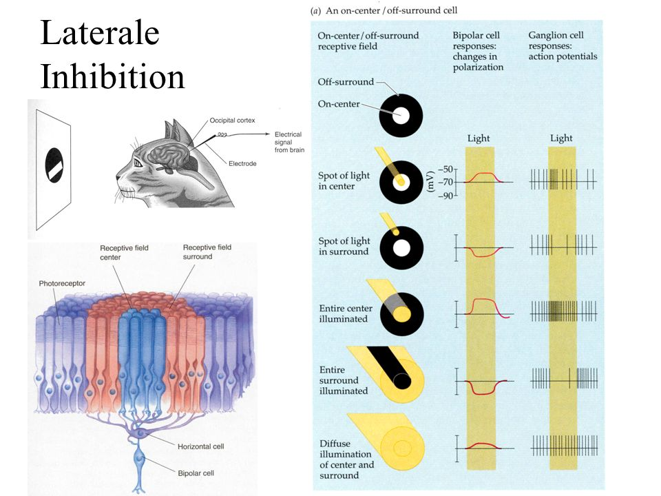 Laterale Inhibition