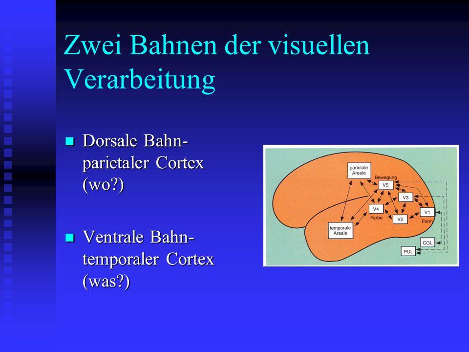 Zwei Bahnen der visuellen Verarbeitung Dorsale Bahn- parietaler Cortex (wo?) Dorsale Bahn- parietaler Cortex (wo?) Ventrale Bahn- temporaler Cortex (w