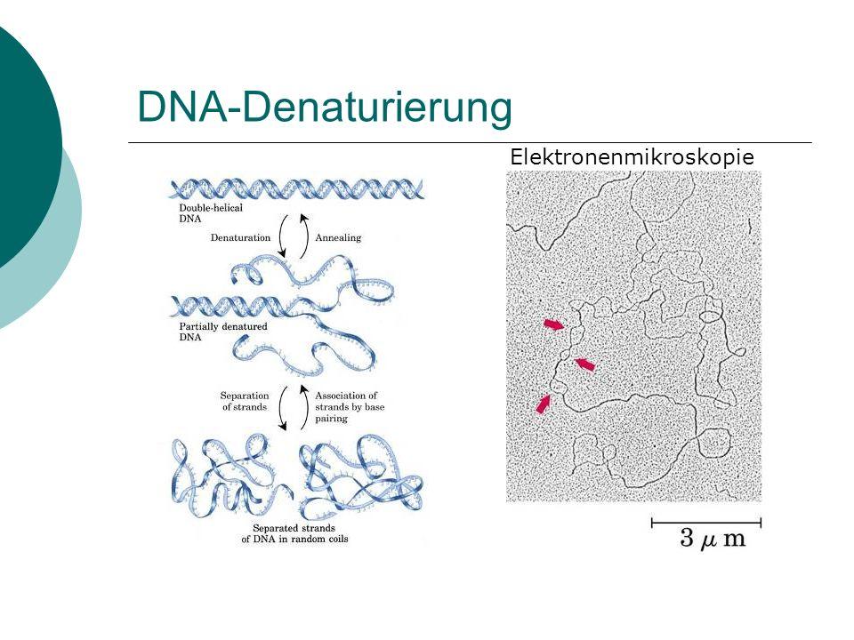 DNA-Denaturierung Elektronenmikroskopie