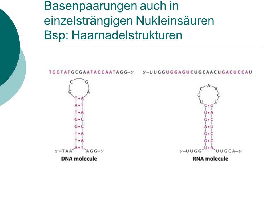 Basenpaarungen auch in einzelsträngigen Nukleinsäuren Bsp: Haarnadelstrukturen