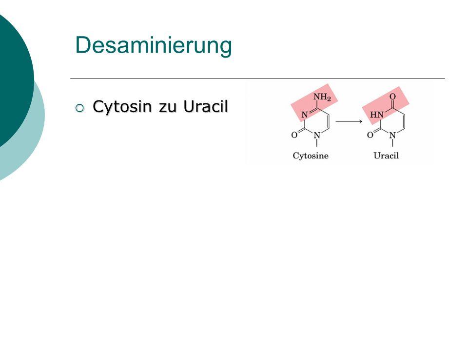 Desaminierung Cytosin zu Uracil Cytosin zu Uracil