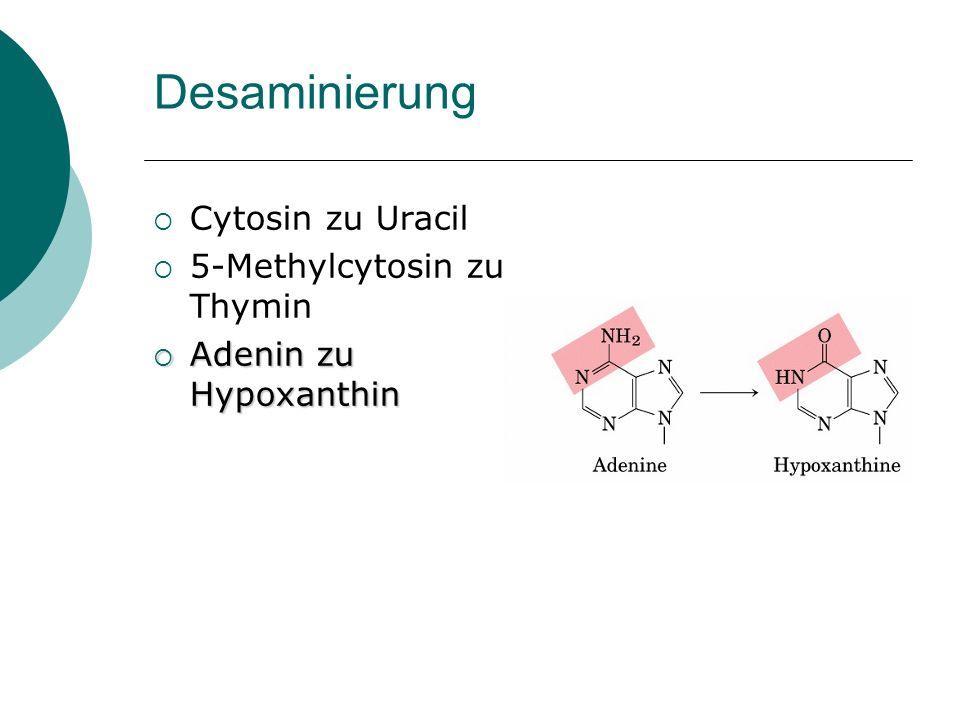 Desaminierung Cytosin zu Uracil 5-Methylcytosin zu Thymin Adenin zu Hypoxanthin Adenin zu Hypoxanthin