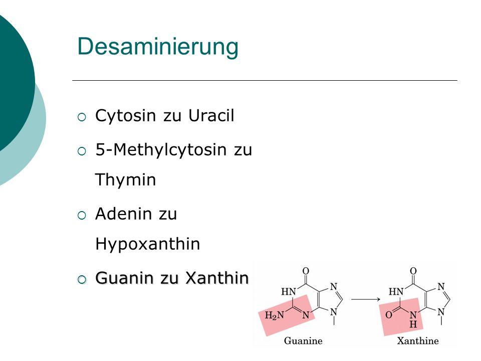 Desaminierung Cytosin zu Uracil 5-Methylcytosin zu Thymin Adenin zu Hypoxanthin Guanin zu Xanthin Guanin zu Xanthin