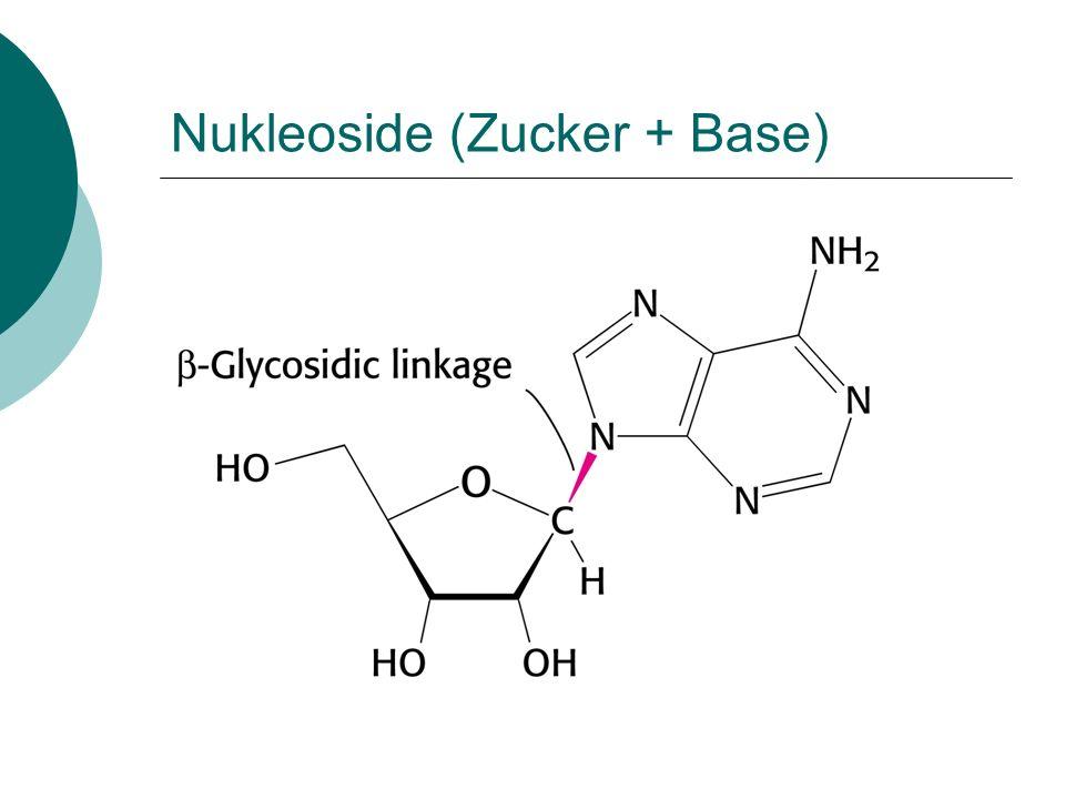 Nukleoside (Zucker + Base)