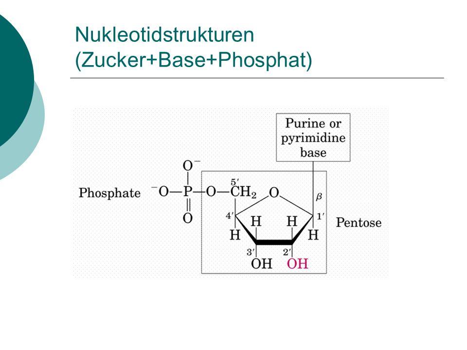 Nukleotidstrukturen (Zucker+Base+Phosphat)