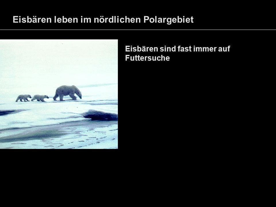 Eisbären leben im nördlichen Polargebiet Eisbären sind fast immer auf Futtersuche