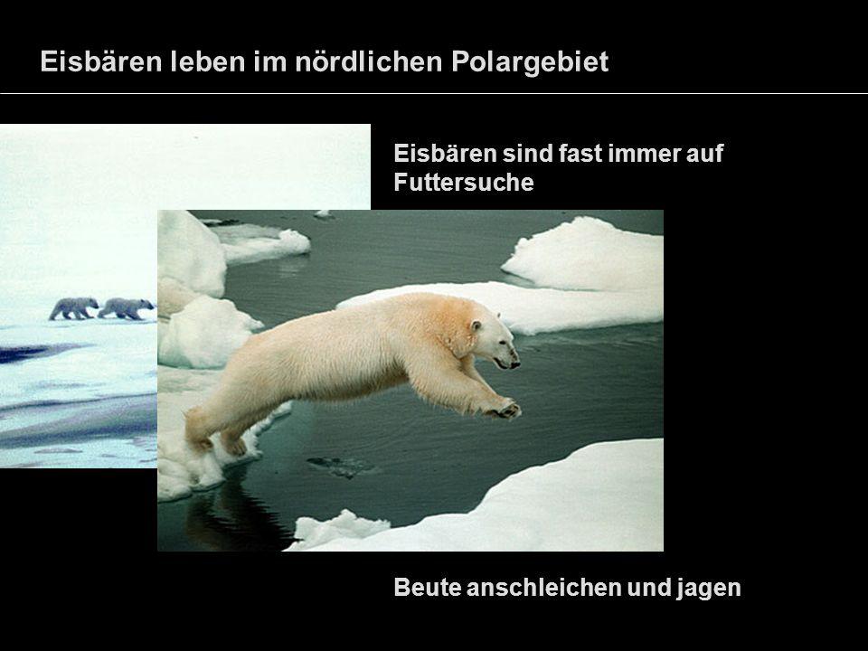 Eisbären leben im nördlichen Polargebiet Eisbären sind fast immer auf Futtersuche Beute anschleichen und jagen