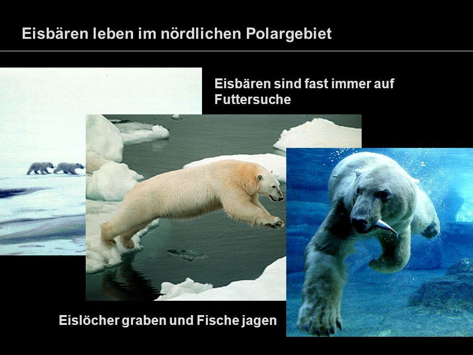 Eisbären leben im nördlichen Polargebiet Eisbären sind fast immer auf Futtersuche Eislöcher graben und Fische jagen