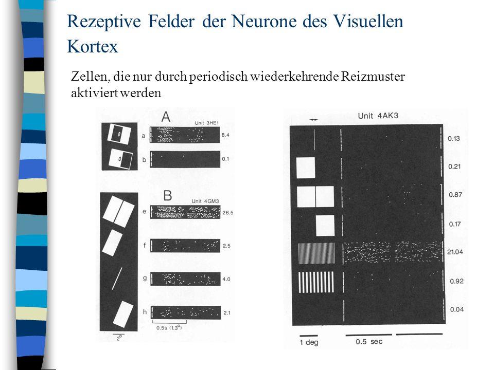 Rezeptive Felder der Neurone des Visuellen Kortex Zellen, die nur durch periodisch wiederkehrende Reizmuster aktiviert werden