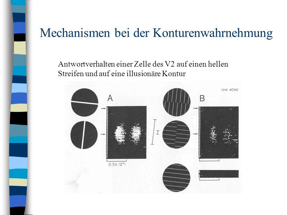 Mechanismen bei der Konturenwahrnehmung Antwortverhalten einer Zelle des V2 auf einen hellen Streifen und auf eine illusionäre Kontur