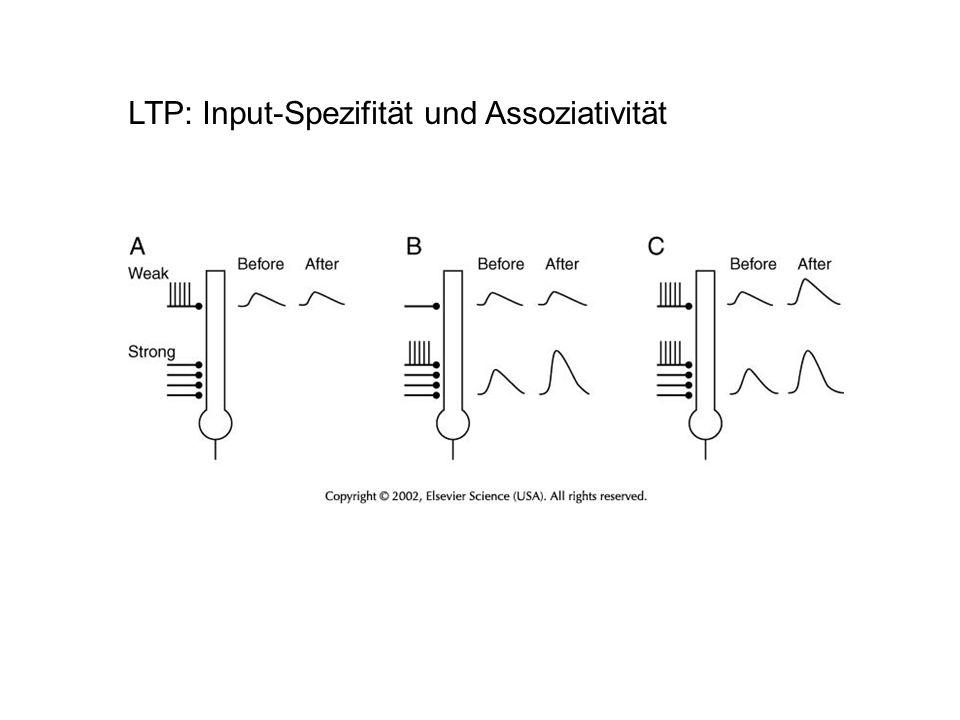 LTP: Input-Spezifität und Assoziativität