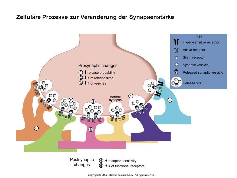 Zelluläre Prozesse zur Veränderung der Synapsenstärke
