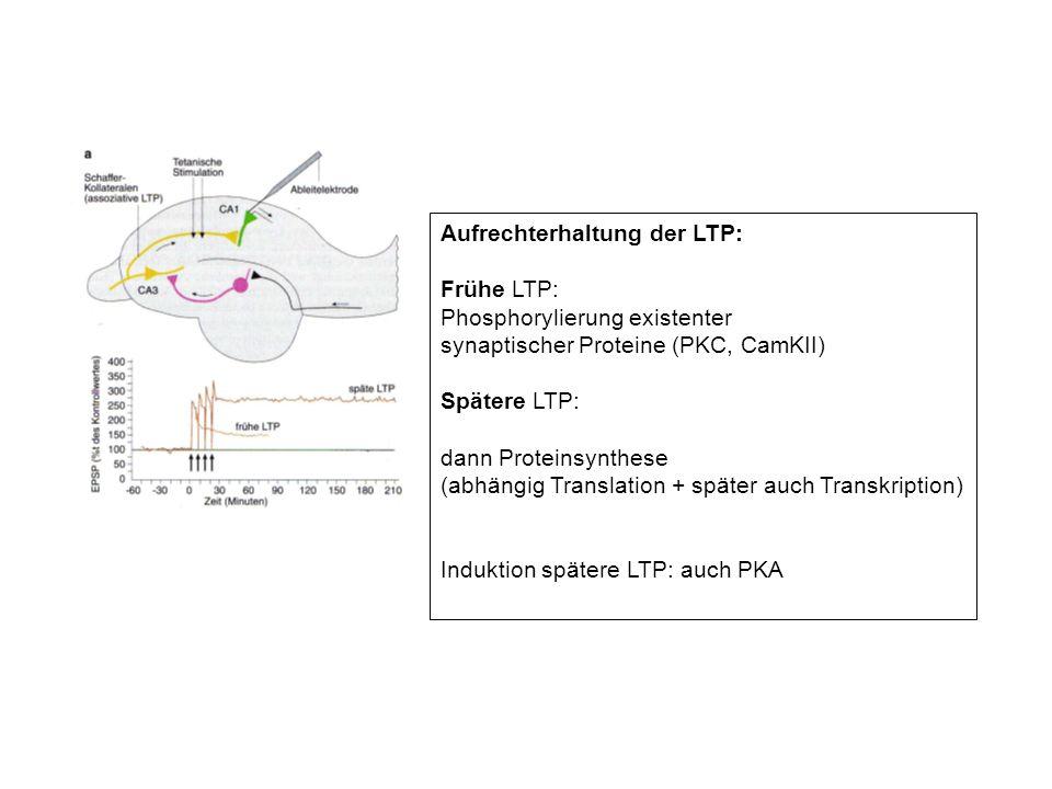 Aufrechterhaltung der LTP: Frühe LTP: Phosphorylierung existenter synaptischer Proteine (PKC, CamKII) Spätere LTP: dann Proteinsynthese (abhängig Tran