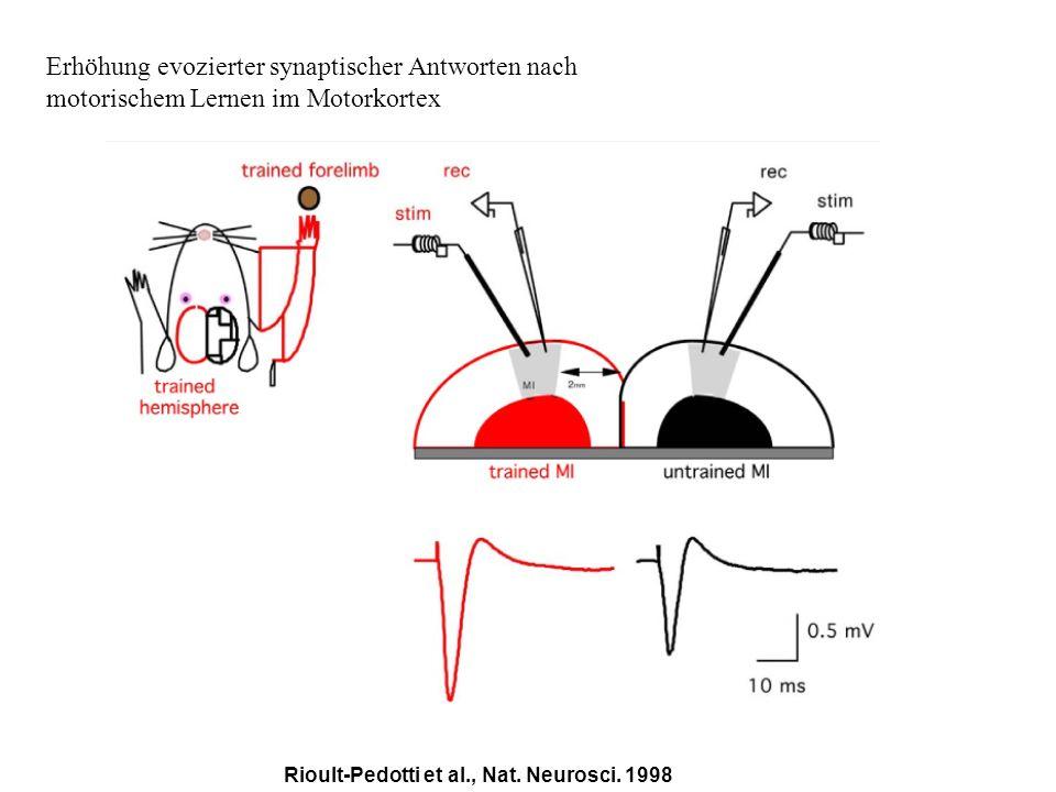 Erhöhung evozierter synaptischer Antworten nach motorischem Lernen im Motorkortex Rioult-Pedotti et al., Nat. Neurosci. 1998