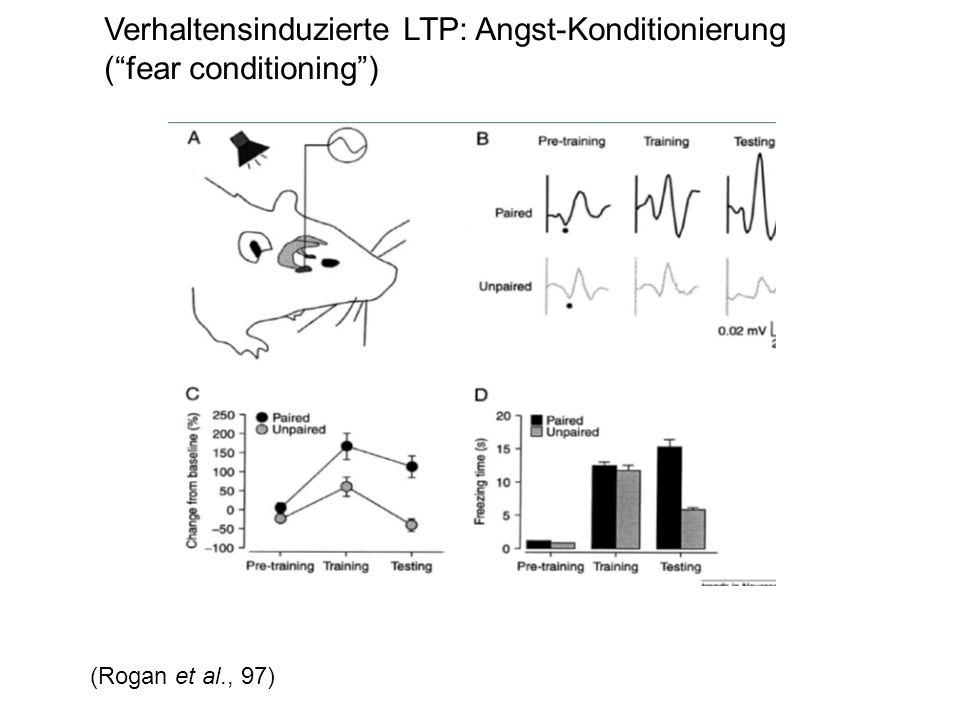 Verhaltensinduzierte LTP: Angst-Konditionierung (fear conditioning) (Rogan et al., 97)