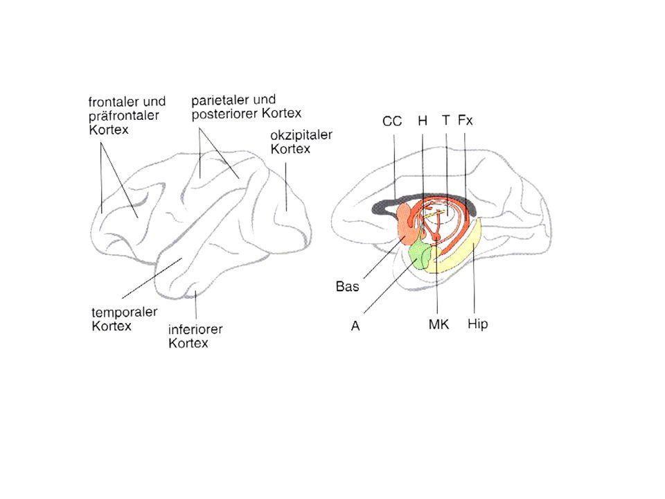Hippokampus