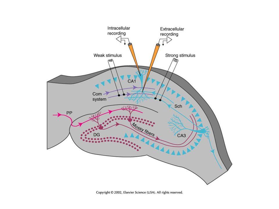LTP (Gyrus dentate) LTD (CA1 Hippokampus) Löschen von LTP (Gyrus dentate) Phänomene synaptischer Plastizität