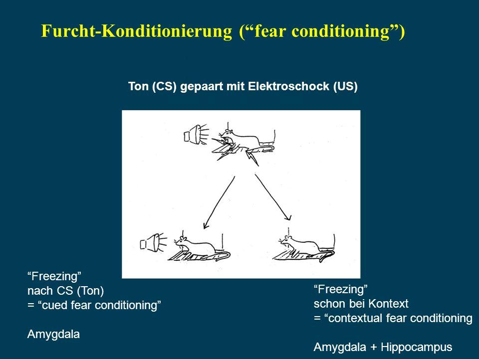 Furcht-Konditionierung (fear conditioning) Ton (CS) gepaart mit Elektroschock (US) Freezing nach CS (Ton) = cued fear conditioning Amygdala Freezing schon bei Kontext = contextual fear conditioning Amygdala + Hippocampus