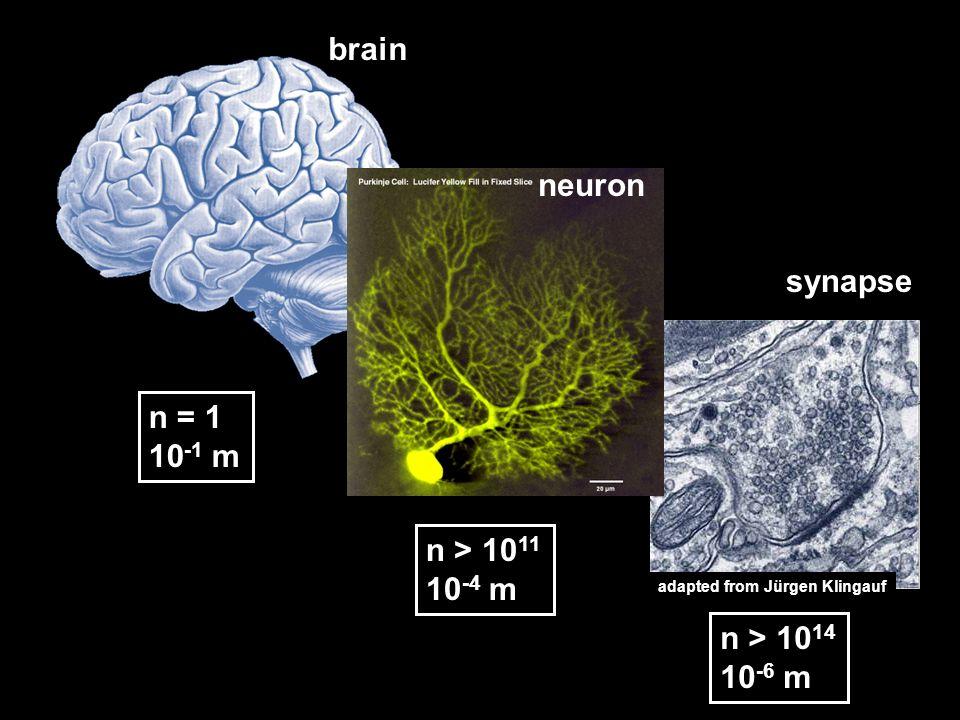 n = 1 10 -1 m n > 10 11 10 -4 m n > 10 14 10 -6 m brain neuron synapse adapted from Jürgen Klingauf