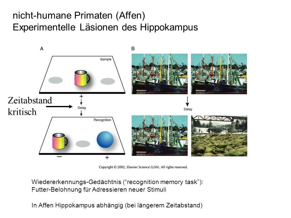 Wiedererkennungs-Gedächtnis (recognition memory task): Futter-Belohnung für Adressieren neuer Stimuli In Affen Hippokampus abhängig (bei längerem Zeitabstand) nicht-humane Primaten (Affen) Experimentelle Läsionen des Hippokampus Zeitabstand kritisch