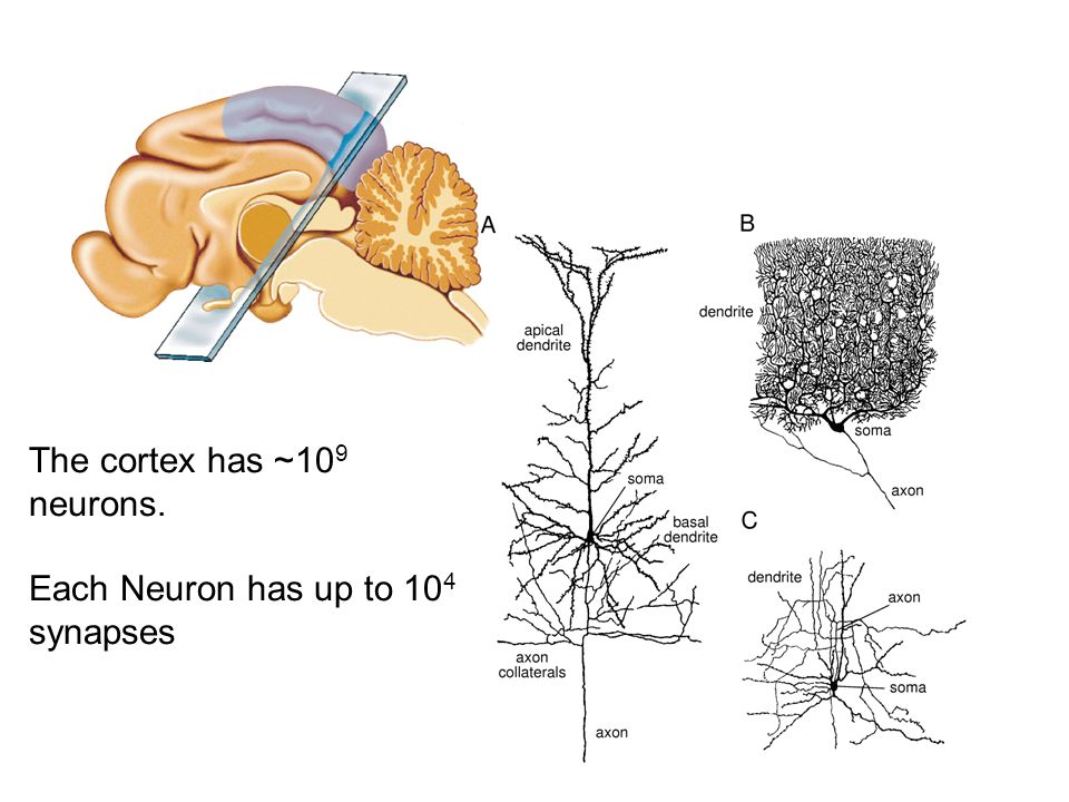 The cortex has ~10 9 neurons. Each Neuron has up to 10 4 synapses