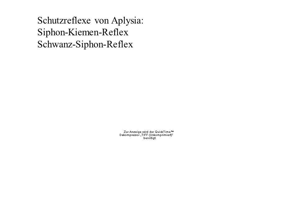 Schutzreflexe von Aplysia: Siphon-Kiemen-Reflex Schwanz-Siphon-Reflex
