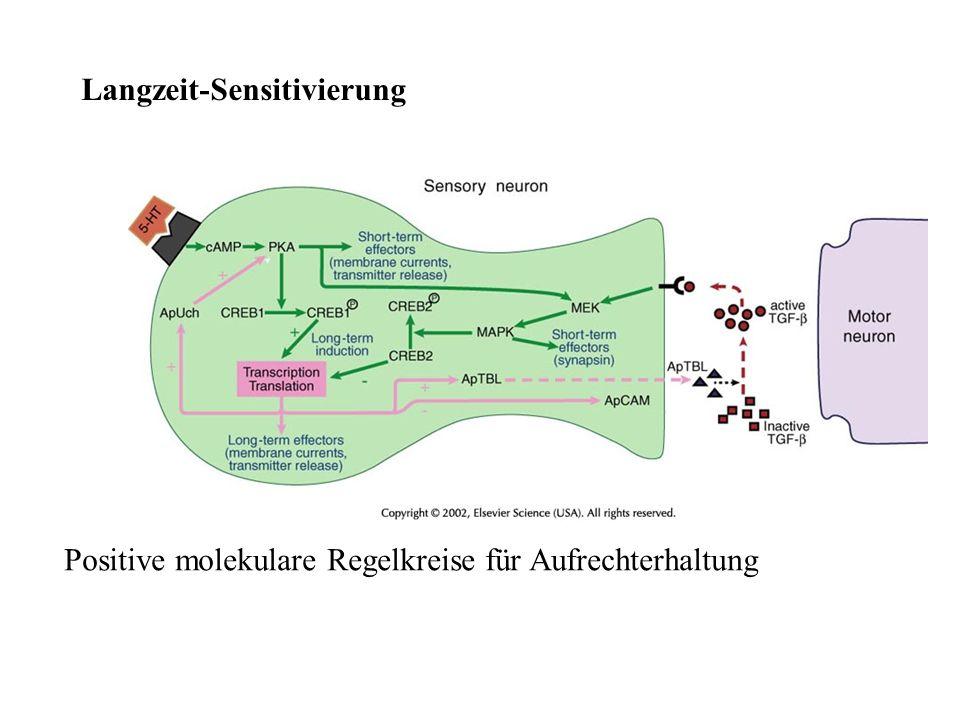 Positive molekulare Regelkreise für Aufrechterhaltung