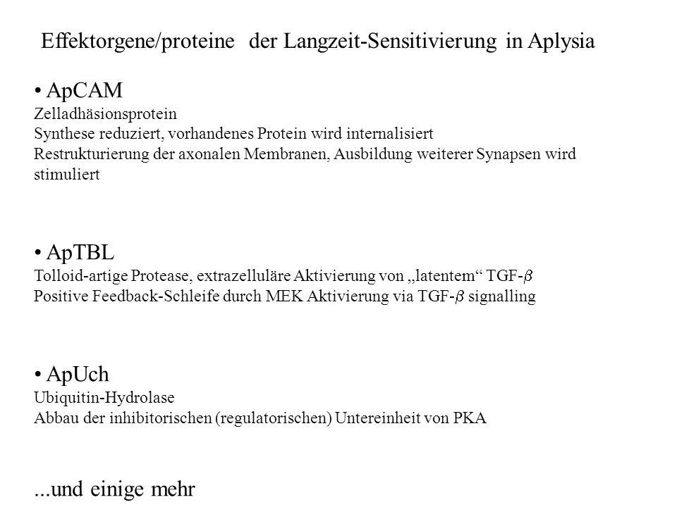 ApCAM Zelladhäsionsprotein Synthese reduziert, vorhandenes Protein wird internalisiert Restrukturierung der axonalen Membranen, Ausbildung weiterer Synapsen wird stimuliert ApTBL Tolloid-artige Protease, extrazelluläre Aktivierung von latentem TGF- Positive Feedback-Schleife durch MEK Aktivierung via TGF- signalling ApUch Ubiquitin-Hydrolase Abbau der inhibitorischen (regulatorischen) Untereinheit von PKA...und einige mehr Effektorgene/proteine der Langzeit-Sensitivierung in Aplysia