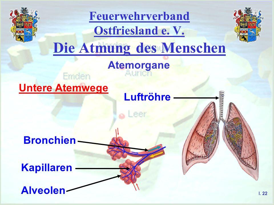 Feuerwehrverband Ostfriesland e. V. Die Atmung des Menschen I. 22 Atemorgane Untere Atemwege Luftröhre Bronchien Kapillaren Alveolen