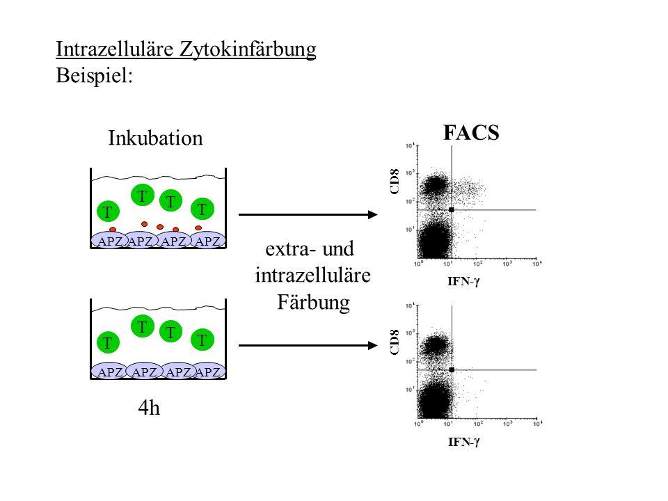 Intrazelluläre Zytokinfärbung Beispiel: T T T T T APZ T T T FACS IFN- CD8 IFN- CD8 APZ extra- und intrazelluläre Färbung 4h Inkubation