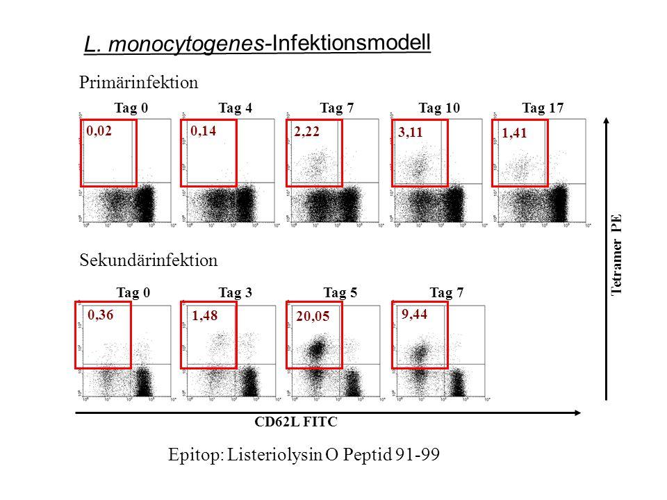 0,02 0,14 2,22 3,11 1,41 Tag 0Tag 4Tag 7Tag 10Tag 17 CD62L FITC Tetramer PE 0,36 1,48 20,05 9,44 Tag 0Tag 3Tag 5Tag 7 Primärinfektion Sekundärinfektion Epitop: Listeriolysin O Peptid 91-99 L.