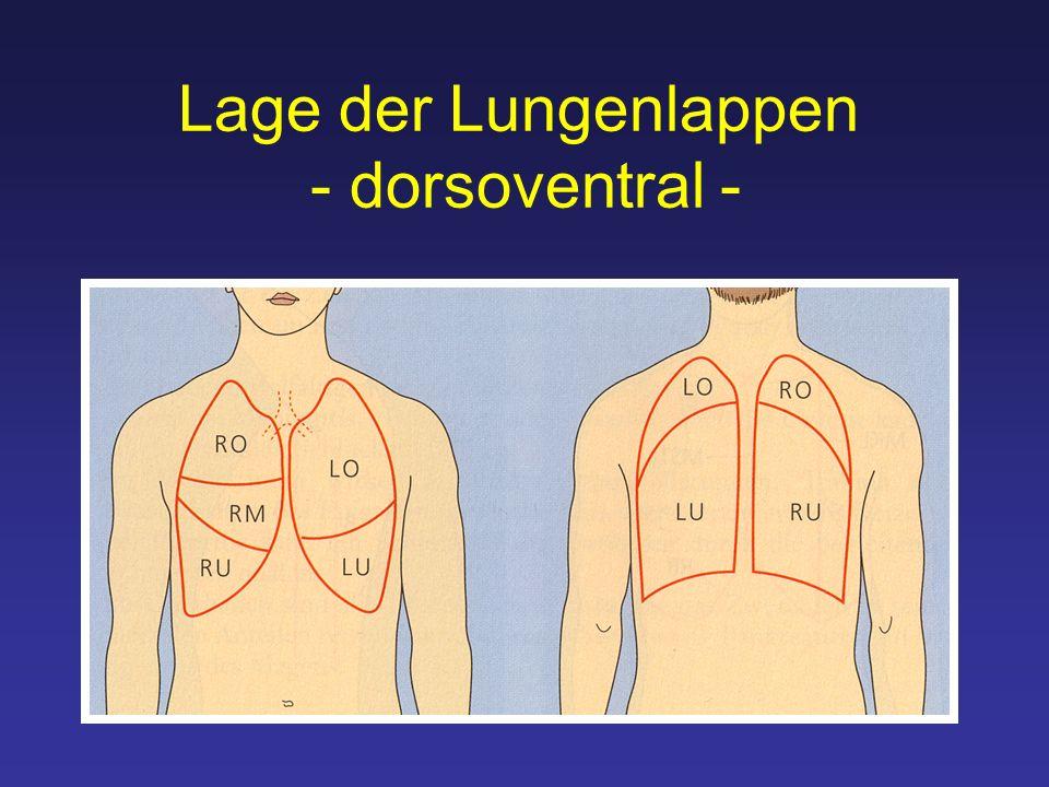 Lage der Lungenlappen - dorsoventral -