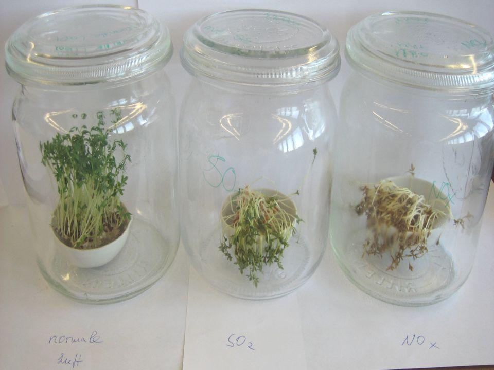 SO 2 Dringt SO 2 durch die Spaltöffnungen ins innere der Pflanzen ein, reagiert es dort mit Wasser unter Bildung von Schwefliger Säure.