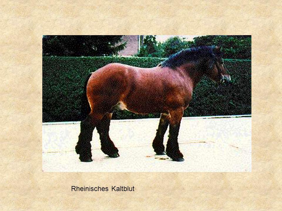 Rheinisches Kaltblut
