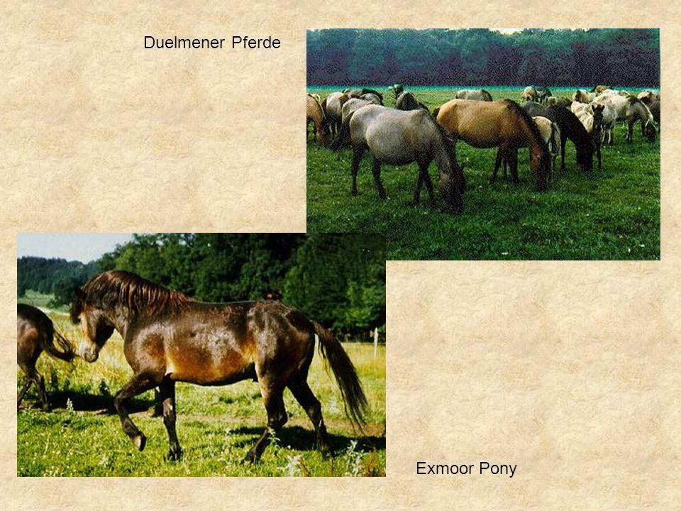 Exmoor Pony Duelmener Pferde