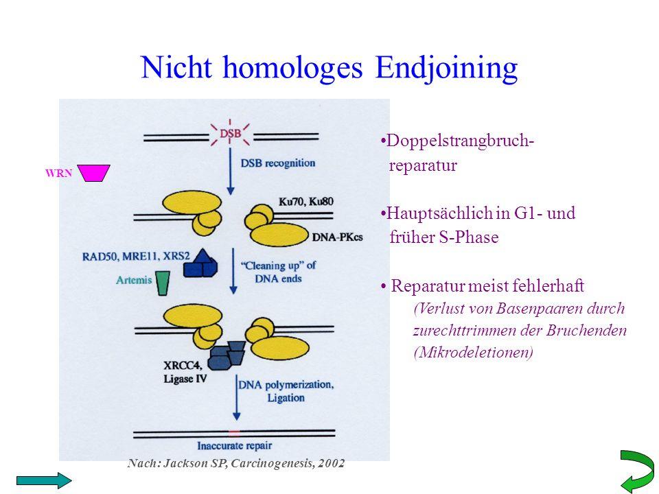 Nicht homologes Endjoining WRN Doppelstrangbruch- reparatur Hauptsächlich in G1- und früher S-Phase Reparatur meist fehlerhaft (Verlust von Basenpaare