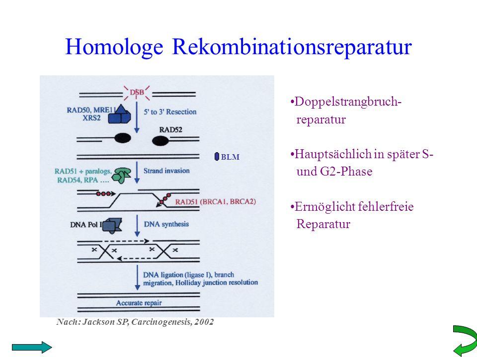 Homologe Rekombinationsreparatur BLM Doppelstrangbruch- reparatur Hauptsächlich in später S- und G2-Phase Ermöglicht fehlerfreie Reparatur Nach: Jacks