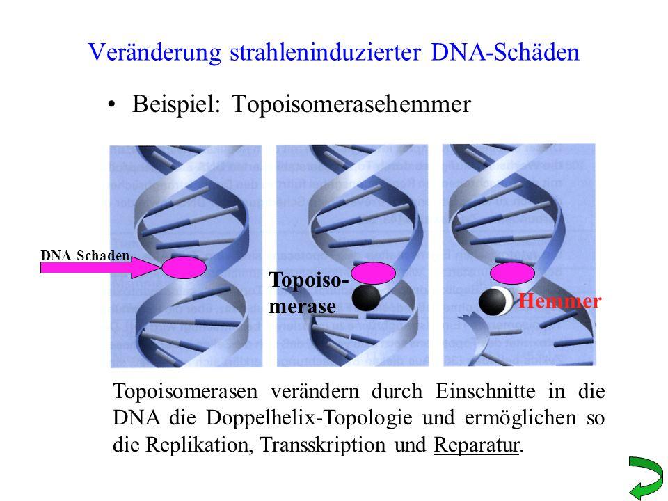 Veränderung strahleninduzierter DNA-Schäden Beispiel: Topoisomerasehemmer Topoisomerasen verändern durch Einschnitte in die DNA die Doppelhelix-Topolo