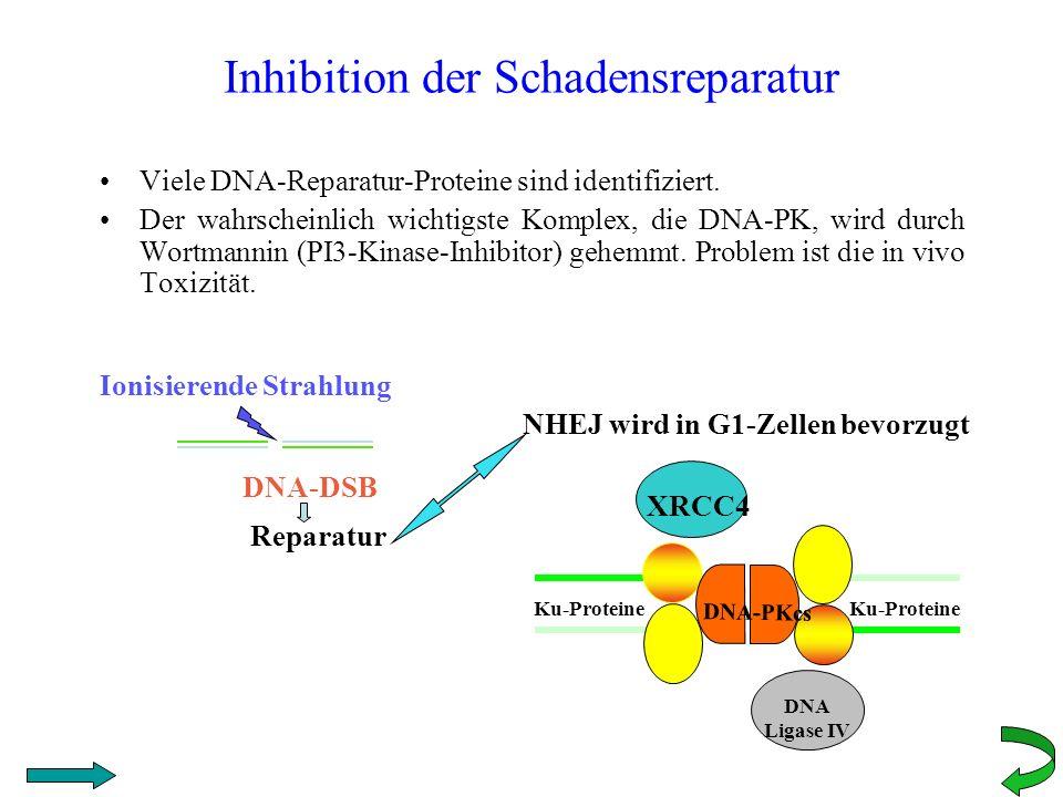 Inhibition der Schadensreparatur Viele DNA-Reparatur-Proteine sind identifiziert. Der wahrscheinlich wichtigste Komplex, die DNA-PK, wird durch Wortma